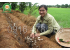 Xử lý rơm rạ trồng nấm và ủ phân hữu cơ
