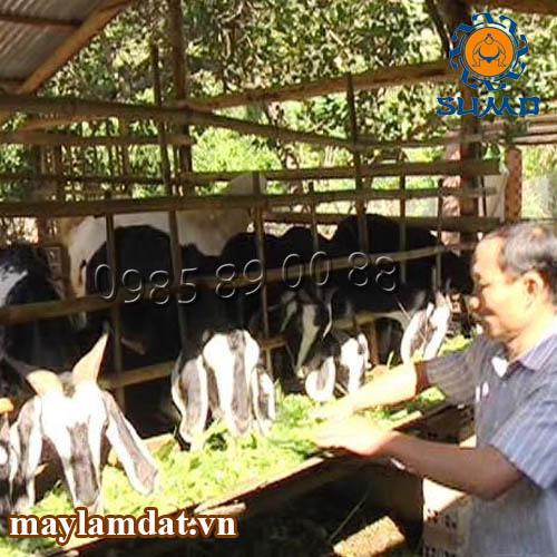 Kỹ thuật trồng cỏ voi làm thức ăn cho dê